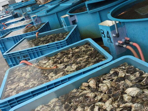 漁港02岩牡蠣